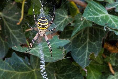 bruennichi: wasp spider (Argiope bruennichi) with yellow and black stripes on its abdomen in its web waiting for preys in a ivy bush