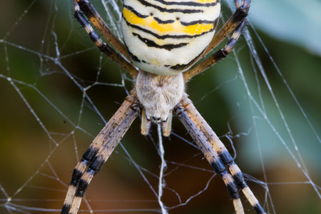 bruennichi: Detail of a wasp spider  (Argiope bruennichi) with yellow and black stripes on its abdomen in its web waiting for preys