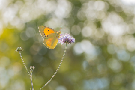clouded: Yellow  Butterfly Pale Clouded Yellow butterfly (Colias Hyale) suking nectar from a violet flower blurred background Stock Photo