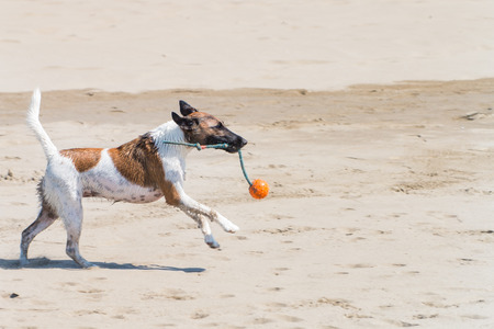piebald: Wet Dog Terrier Running on the beach with a green rope and an orange ball in mouth