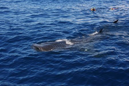 whale shark: Two people snorkeling with a whale shark viewed from a boat