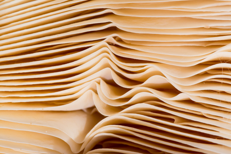 gills: Natural Texture made by wavy thin gills of a mushroom That look like pages of an old book Stock Photo