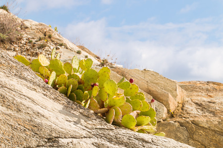 grown up: Prickly pear, optunia, indian fig with some red sweet fruits grown up between the rocks