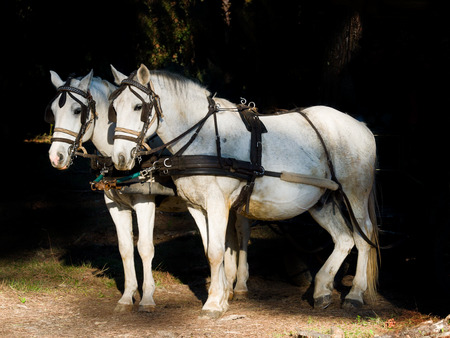 hitched: Couple of white work with harness horses hitched to a wagon. Dark background Stock Photo