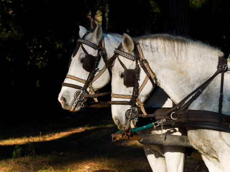 Profile Portrait of two  white work horses with harnesses hitched to a wagon . dark background Stock Photo