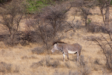 equid: Male of Grevys Zebra imperial zebra, Equus grevyi in the wild savannah surrounded by bushes and trees Stock Photo
