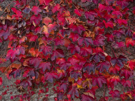 wall covering: Red autumn leaves of Virginia Creeper, five leaved ivy  (Parthenocissus quinquefolia) covering a concrete wall