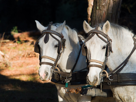 blinkers: Front Portrait of two white work horses with blinkers harnesses and hitched to a wagon