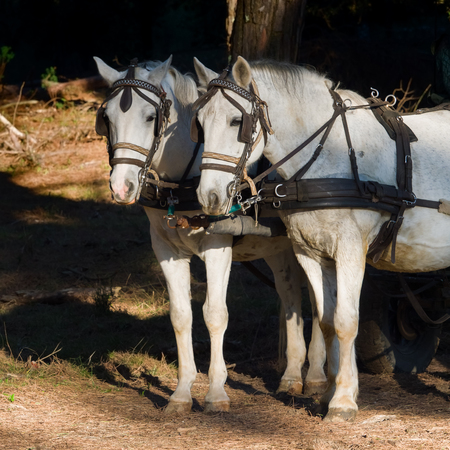 hitched: Two  white work horses  with harnesses and blinkers  hitched to a wagon. Dark background. square format Stock Photo