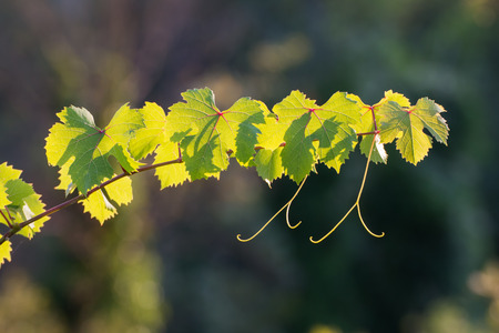 gently: grape vine sprout backlit. The last rays of sun on a late summer afternoon gently illuminating the veins of the leaves Stock Photo