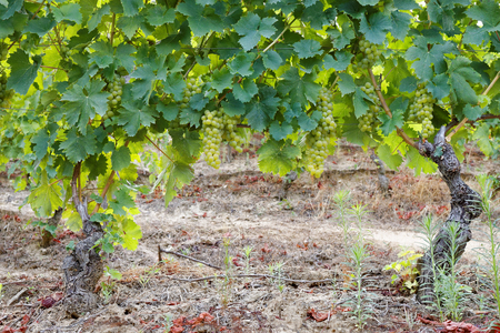 a lot: Grapevines of muscat with a lot of almost ripe bunches of  white grape Stock Photo