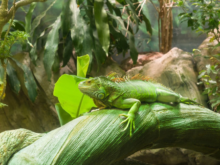spines: Adult Green Common  Iguana (Iguana Iguana) with a row of long spines along the back resting on a trunk