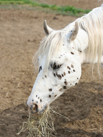 western: Portrait of a young cute white spotted horse eating hay