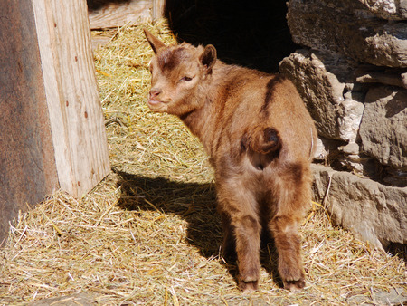 sheepfold: young goat with brown fur standing outside the barn in a sunny spring day