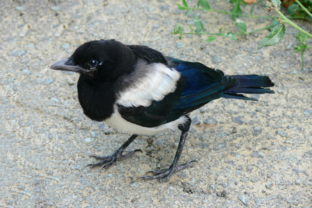 pica: first walking of a magpie (Pica Pica) chick out of the nest on asphalt road