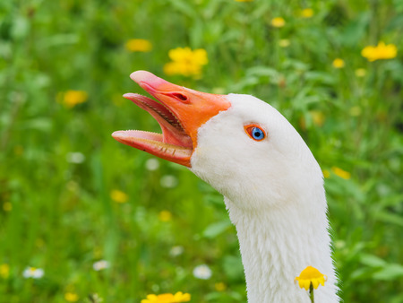 portrait of a white geese screaming with beak open and tongue out Stock Photo