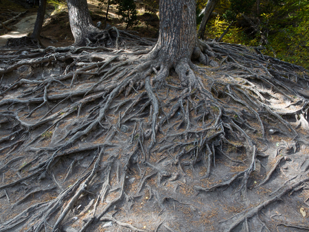 majestic roots of a big centenarian tree exposed due to soil erosion
