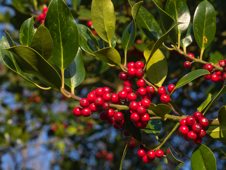 close up view of red ripe berries of common holly (Ilex aquifolium) near christmas holidays
