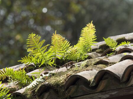 plants (ferns) grown on an old roof made of terracotta tiles Foto de archivo - 133565620