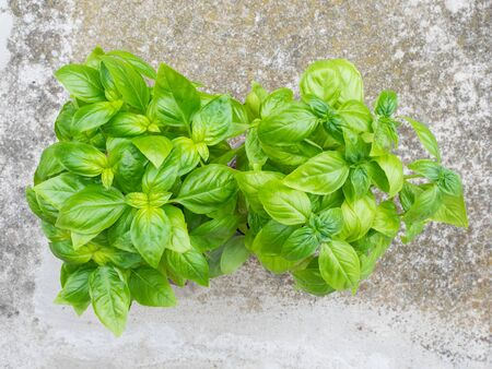 Basil seedlings with tender fresh leaves used to cook the famous Genoese pesto sauce, seen from above. gray cement floor background