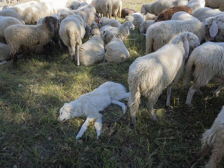 Maremmano Abruzzese white Sheepdog sleeping surrounded by sheeps (breed of dog originating in the Maremma area of Tuscany and northern Lazio in Italy)