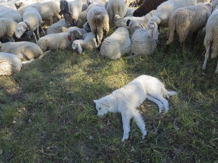 Maremmano Abruzzese white Sheepdog sleeping in the grass surrounded by sheeps (breed of dog originating in the Maremma area of Tuscany and northern Lazio in Italy)