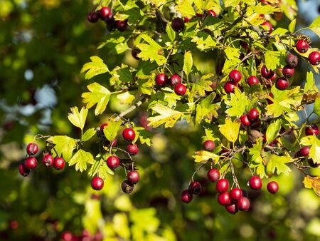 detail of common hawthorn, oneseed hawthorn, Crataegus monogyna full of ripe red berries in autumn