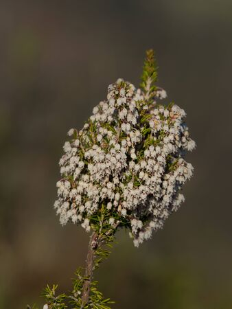 detail of wild heather plant in bloom full of little white flowers Archivio Fotografico