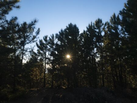 sun filters through the branches of a pine forest, blue sky  background Archivio Fotografico