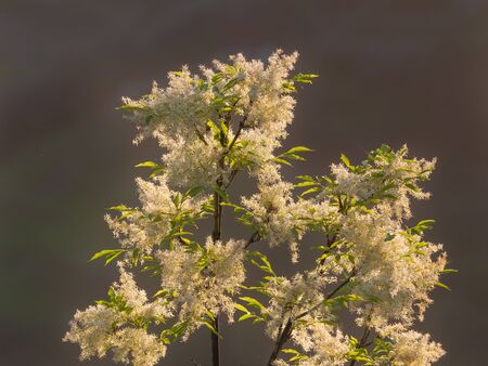 Ash branch full of clusters of little white flowers . Gray background Archivio Fotografico