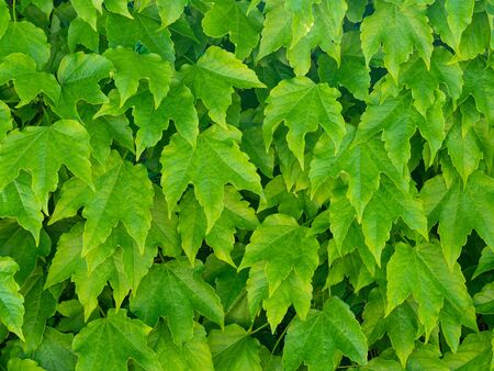 Fresh   tender leaves of Virginia Creeper (five-leaved ivy) covered a wall creating a natural background Archivio Fotografico