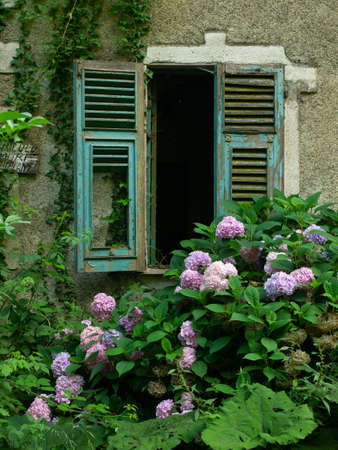 Facade of an abandoned old house, broken shutter window surrounded by pink hydrangea flowers Archivio Fotografico