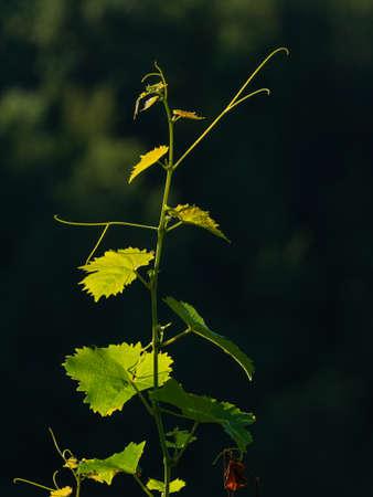 young sprig of vine illuminated in the evening light, dark background Archivio Fotografico