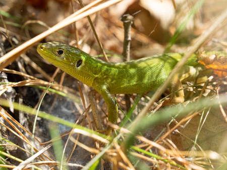 wild European green lizard (Lacerta viridis) hidden in the grass in sunny summer afternoon