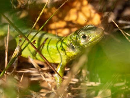 portrait of wild European green lizard (Lacerta viridis) hidden in the grass in sunny summer afternoon