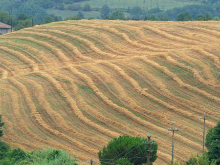 rows of straw in a wheat field in the hills after harvest Archivio Fotografico