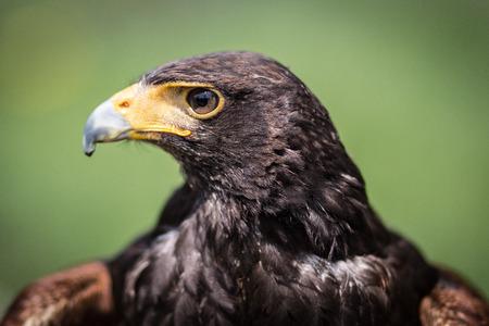buzzard: Buzzard Stock Photo