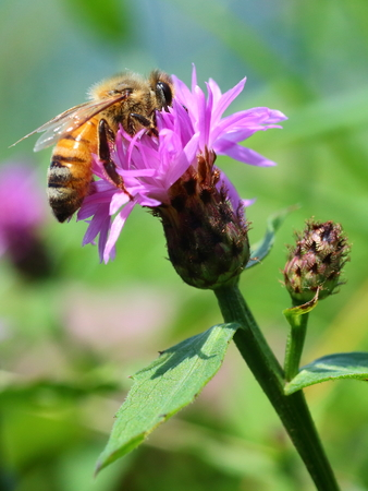 Bee collects nectar on clover flower