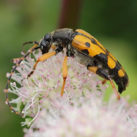 hemlock: Insecto extra�o