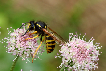 Hornet on an hemlock flower, resting probably stunned by the poison of the plant