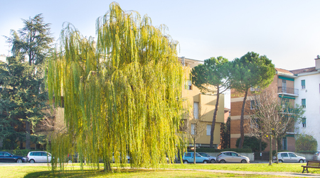 weeping willow: weeping willow tree