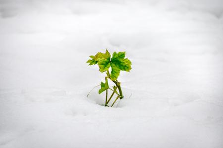vignette: plant grow snow vignette Stock Photo