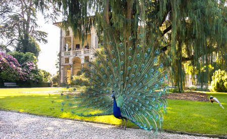 Stresa, Italy, 21 may 2017- a blue peacock spreading tail under a big Kashmir cypress tree  in  the Isola Madre (Mother Island) area in Stresa on the lake Maggiore. Editorial