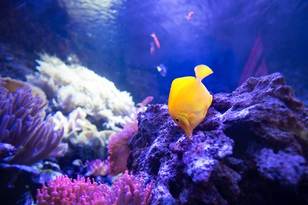 yellow tang fish in shallow coral reefs eat from live rocks Stock Photo