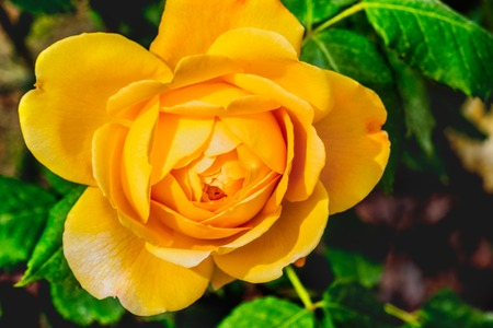 golden celebration rose yellow flower background