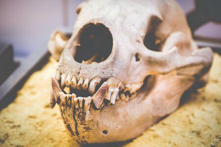 dog skull anatomy teeth fang