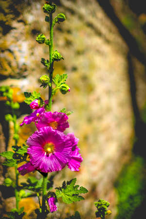 purple flower vertical colorful background malva alcea