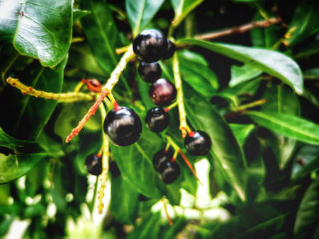 cherry laurel berry plant photography background