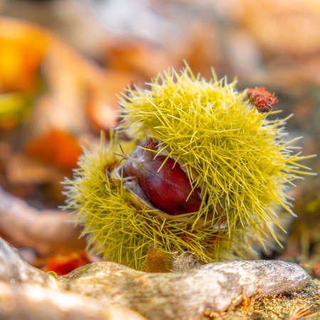 chestnuts shell close up squared background - harvesting chestnut in forest with autumn foliage ground