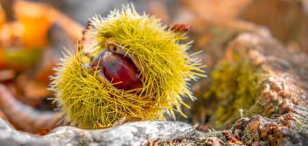 chestnuts shell close up horizontal background - harvesting chestnut in forest with autumn foliage ground